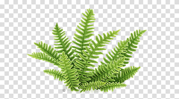 Green plant transparent background. Fern clipart academic