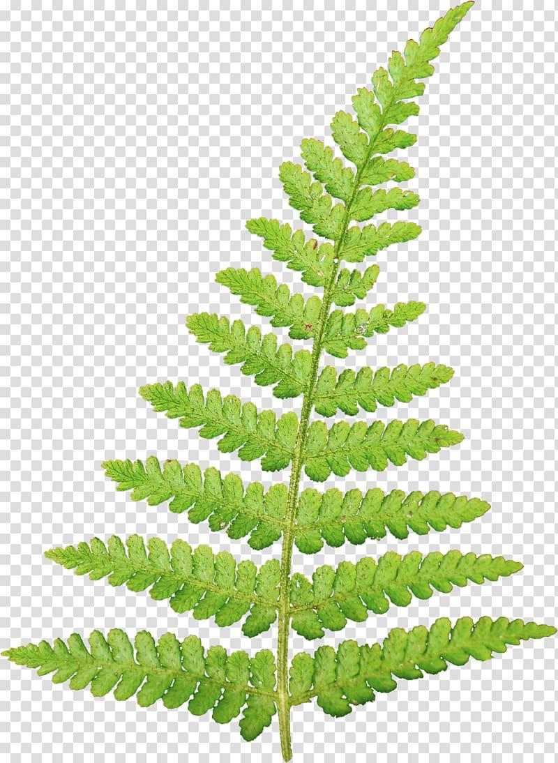 Green leaves leaf information. Fern clipart academic