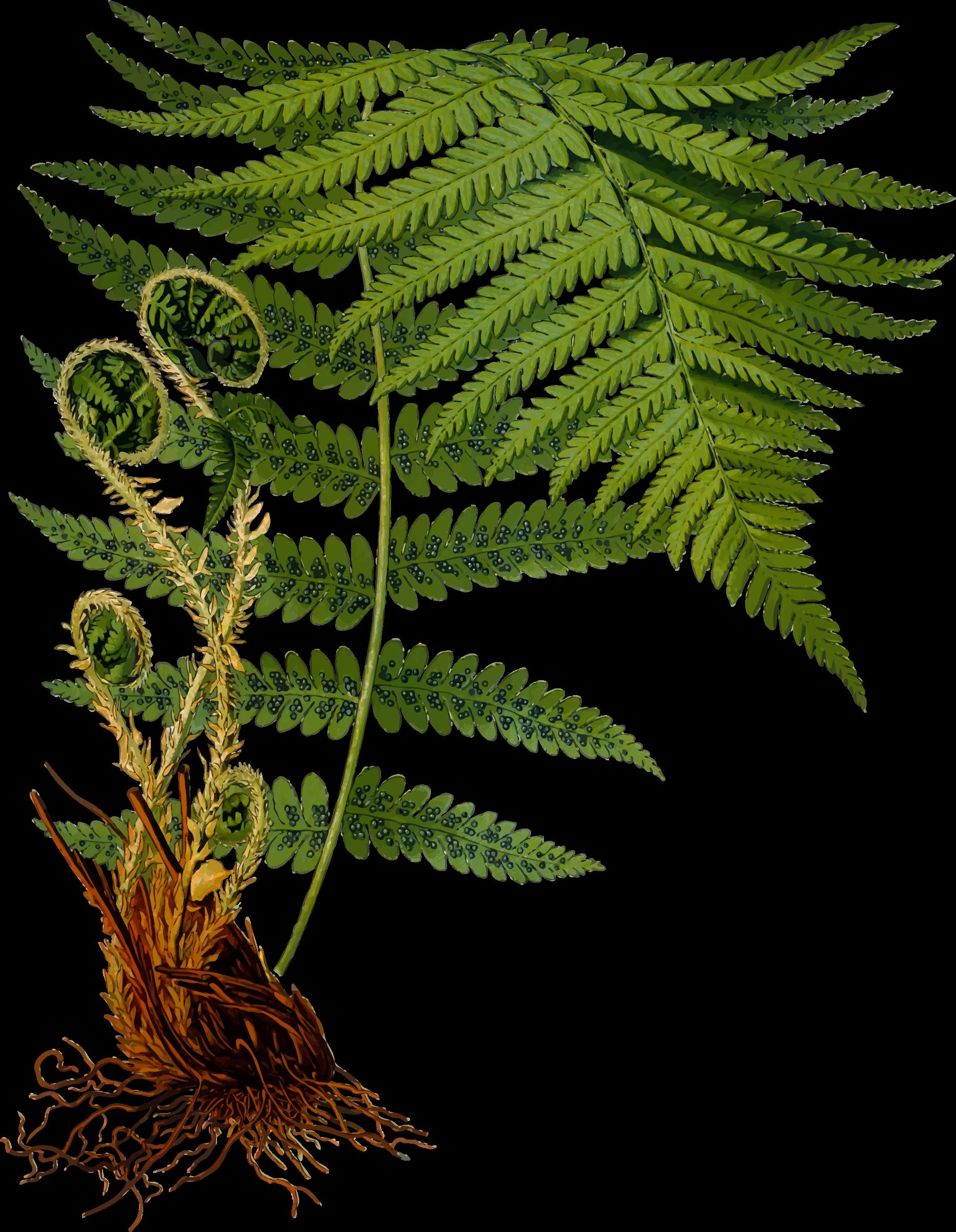 Male detailed by firkin. Fern clipart fern frond