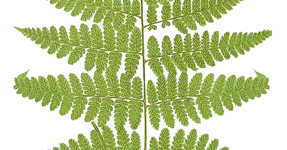 Fern clipart fern frond. Leaping frog designs free