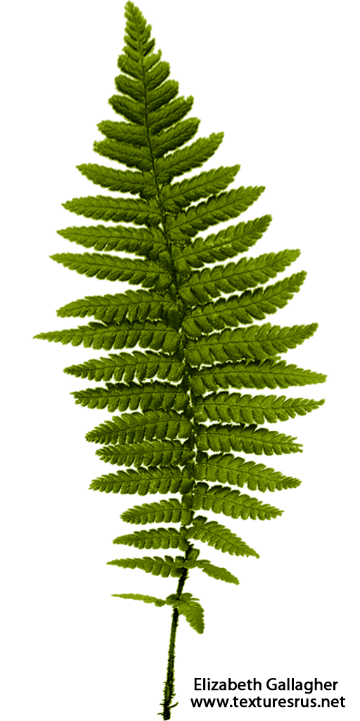 Fern clipart fern frond. Ferns transparent png pictures