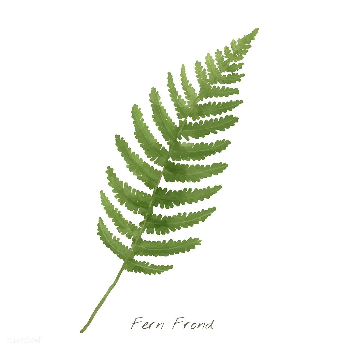 Leaf isolated on white. Fern clipart fern frond