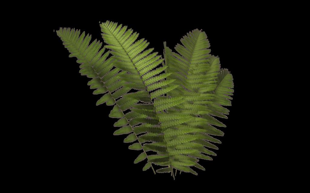 Fern fern leaves