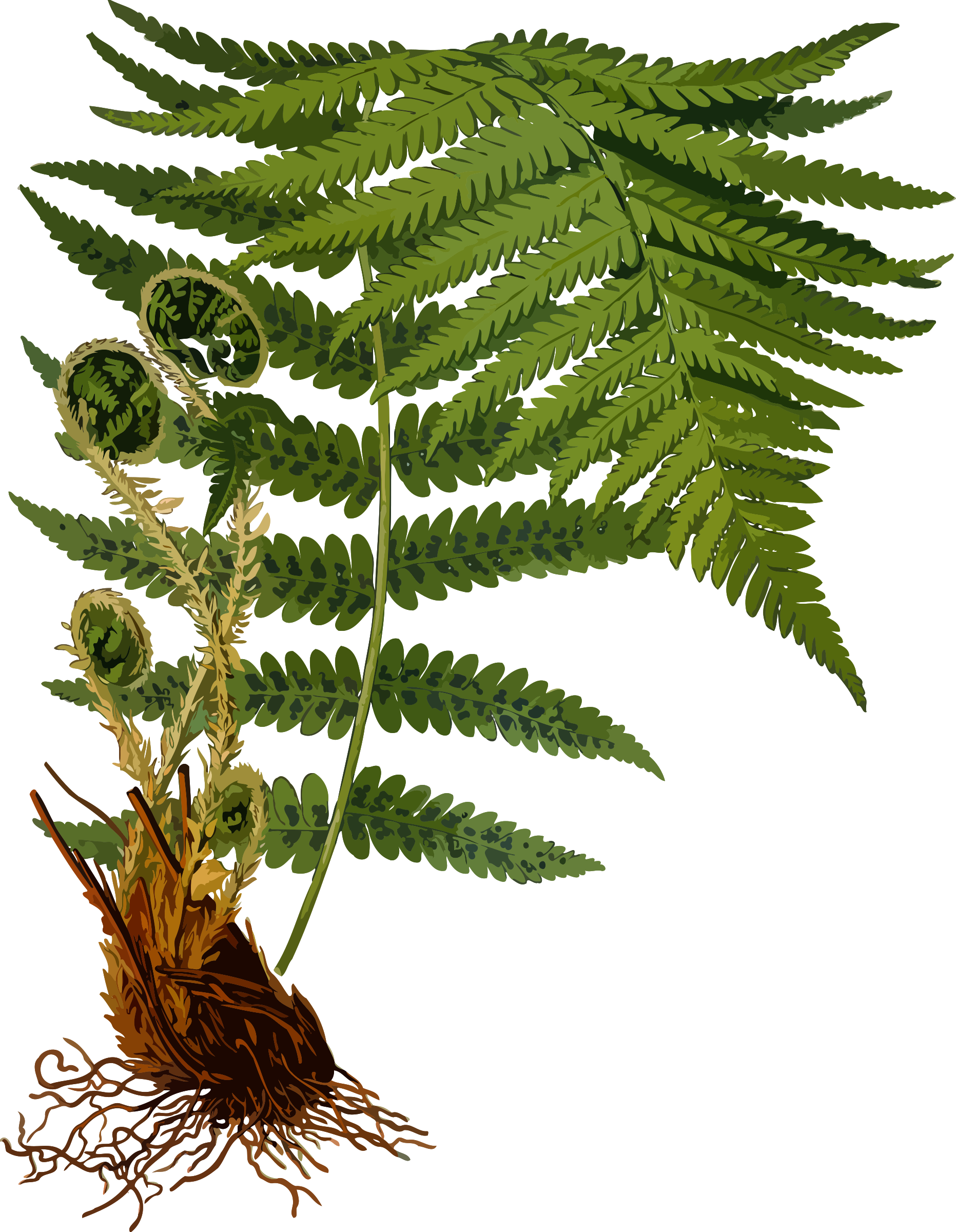 Woodland clipart green fern. Male low resolution big