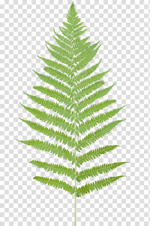 Oo watchers leaf transparent. Fern clipart green fern