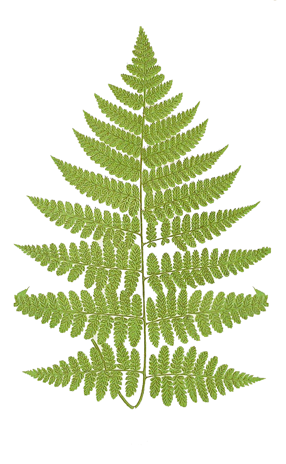 Fern clipart horsetail. Leaping frog designs frond