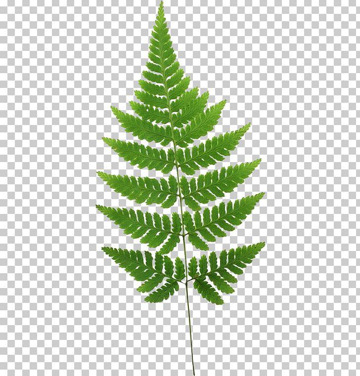 Burknar leaf plant stem. Fern clipart horsetail