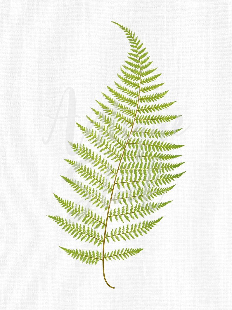 Botanical illustration png download. Fern clipart illustrated