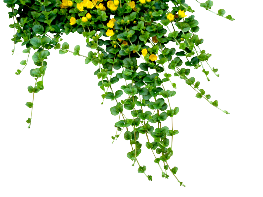 Flower plant png. Ivy by black b