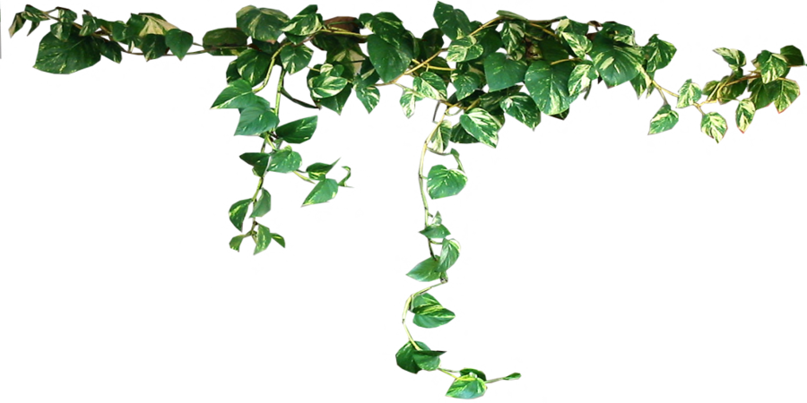 By black b o. Vines clipart english ivy