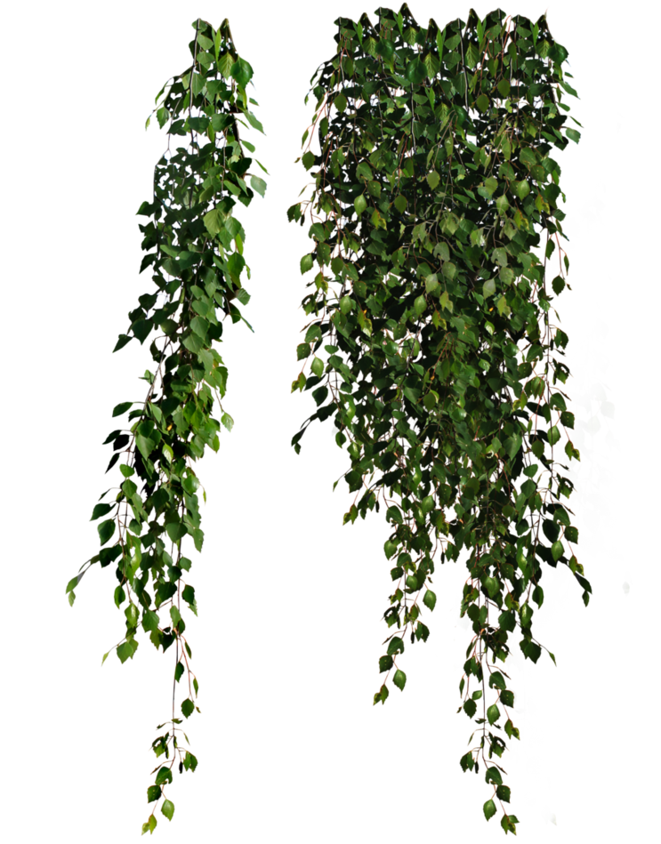 Cutout plant hanging ivy. Planting clipart top view