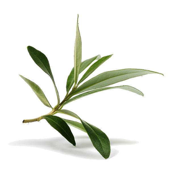 Evergreen life products infusi. Fern clipart lauae