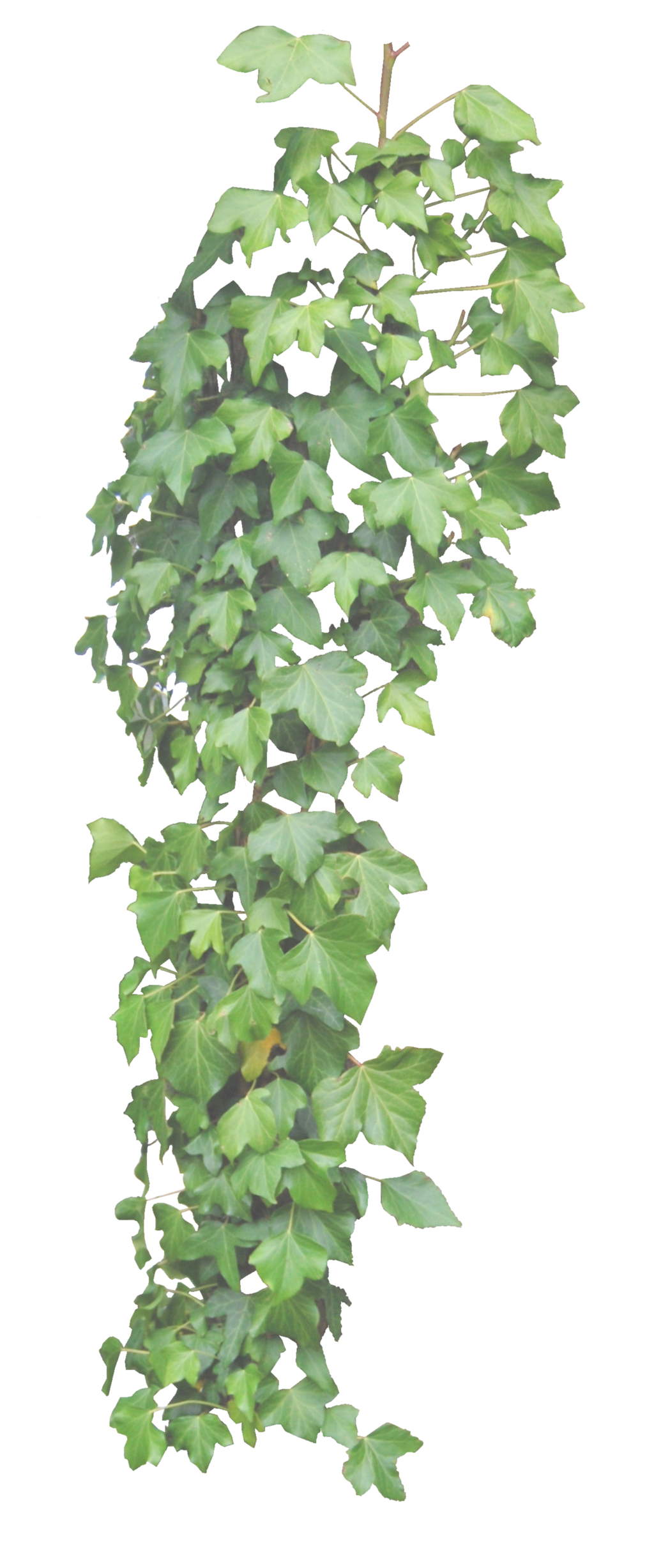 Hanging png by alz. Vines clipart english ivy
