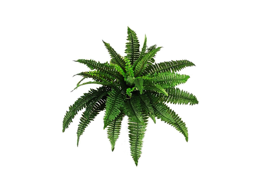 Ferns transparent png pictures. Fern clipart prehistoric plant
