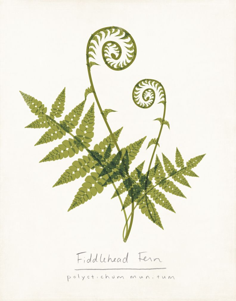 Fern clipart simple. Fiddlehead ferns drawing draft