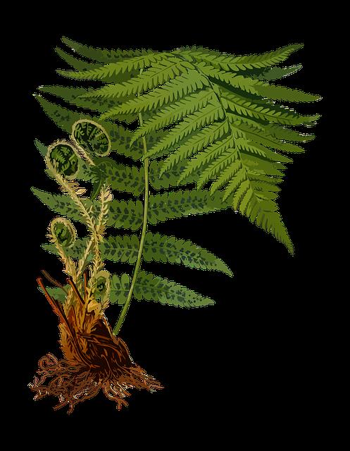 Fern clipart sliver. Norwood botanicals natural