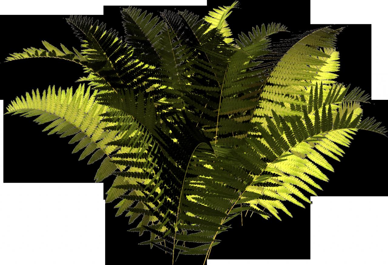 Fern clipart terrestrial plant. Attalea speciosa vascular clip