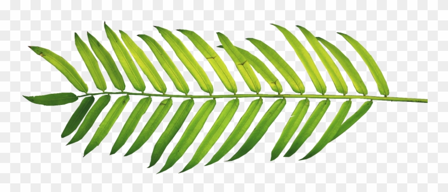 Palm fronds tree ferns. Fern clipart tropical fern