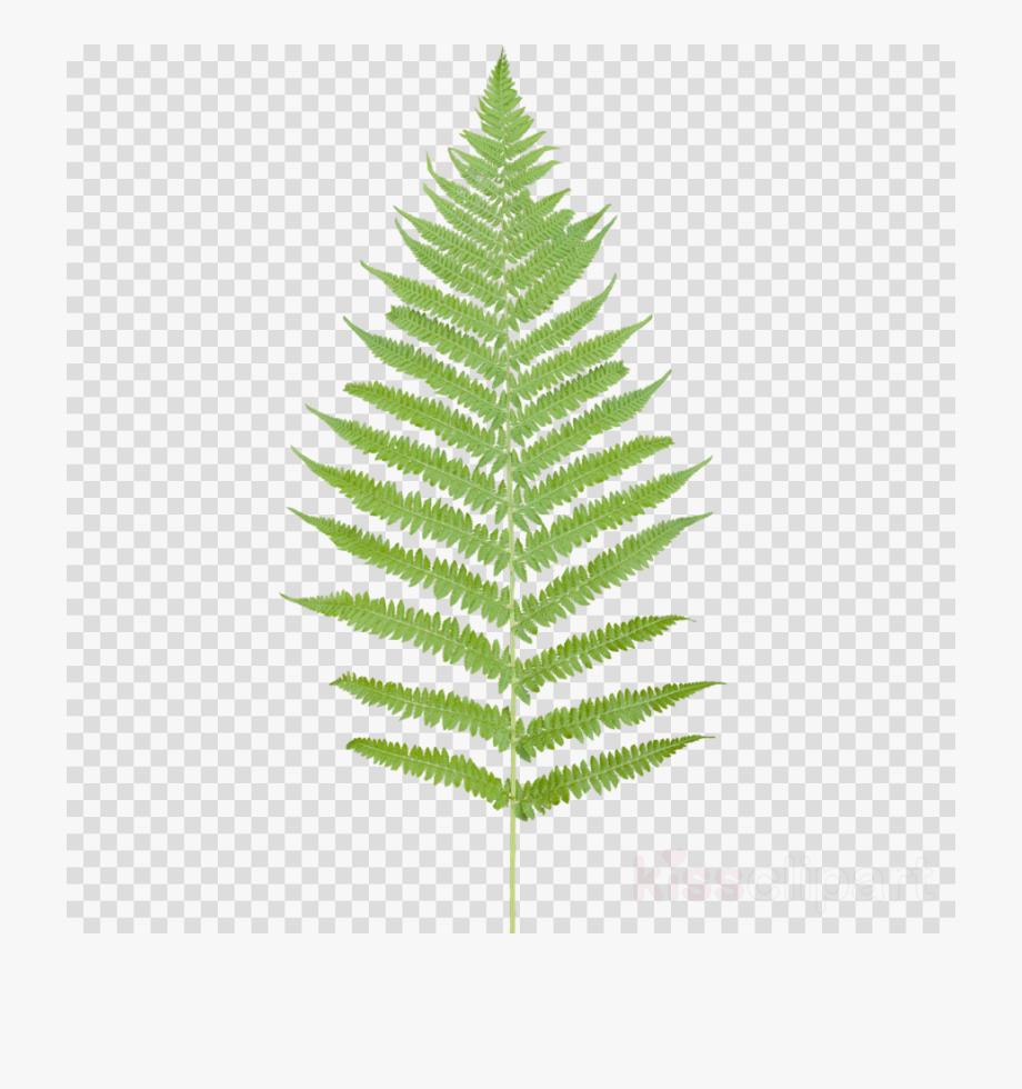 Ferns leaf png desktop. Fern clipart tropical fern