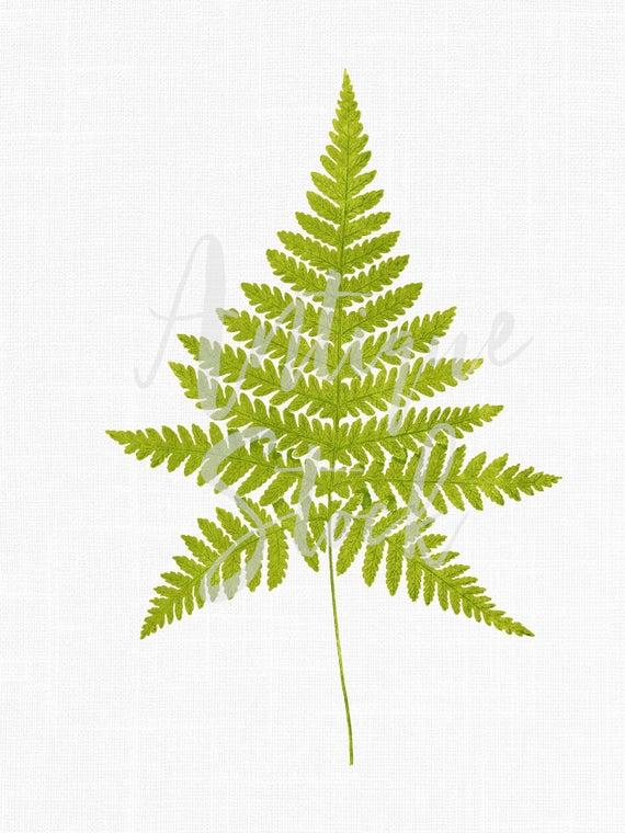 Leaf leaves botanical illustration. Fern clipart vintage