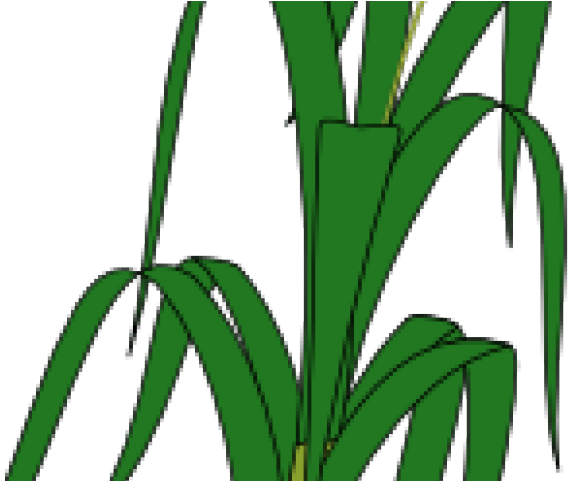 Padi drawing of png. Fern clipart wheat plant