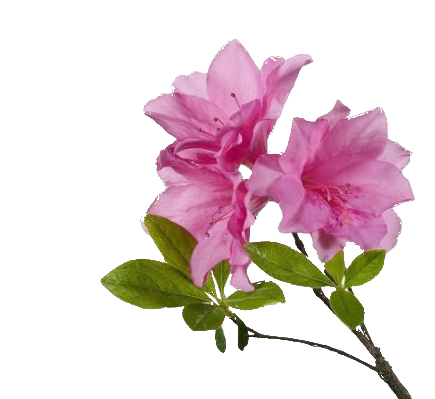 Free flower png. Transparent pictures icons and