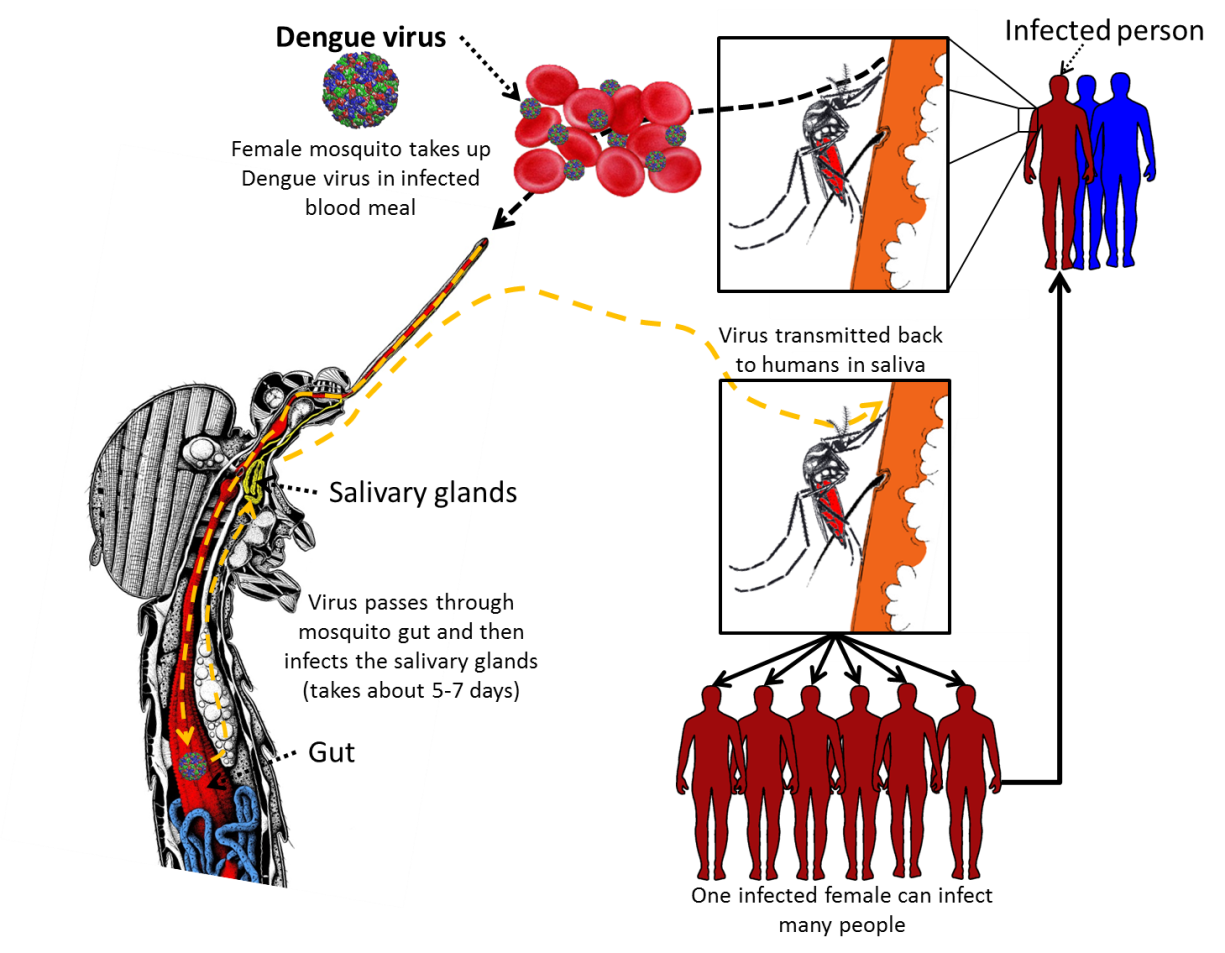 Dengue fever life cycle. Worm clipart pinworm