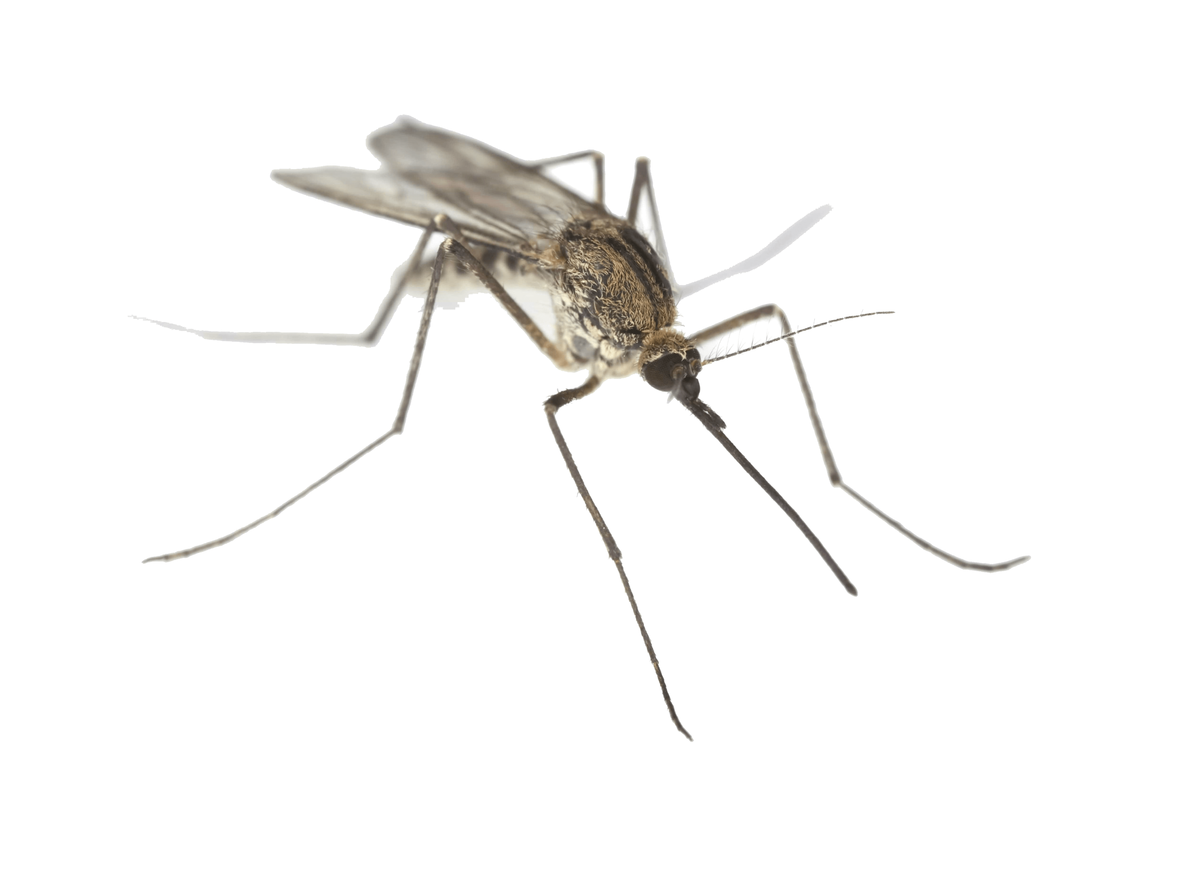Mosquito png transparent images. Fly clipart mosca