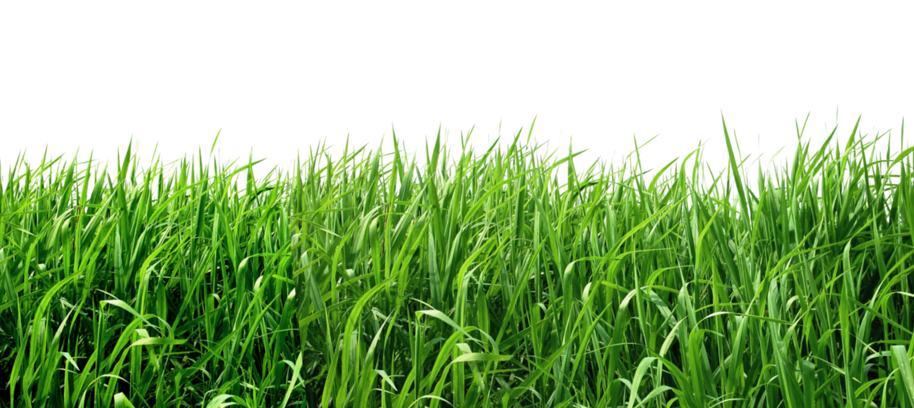 Grass png images. Image purepng free transparent