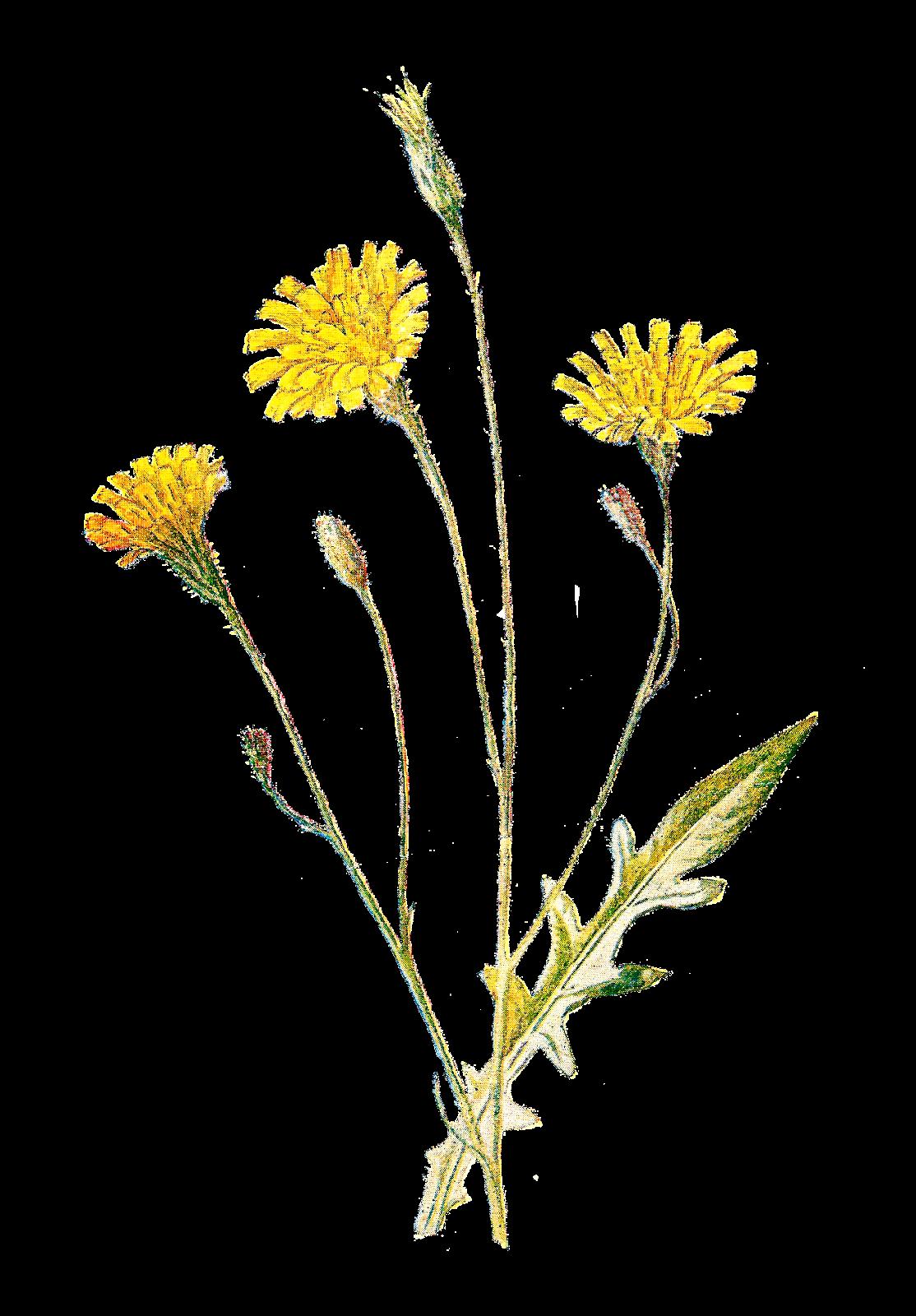 Field clipart field wildflower. Wildflowers of north america