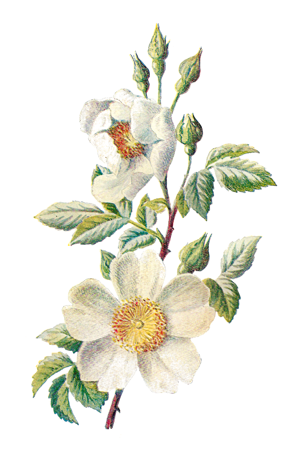Antique images stock botanical. Field clipart field wildflower