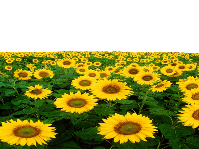 Sunflower png transprent by. Field clipart sunflowers