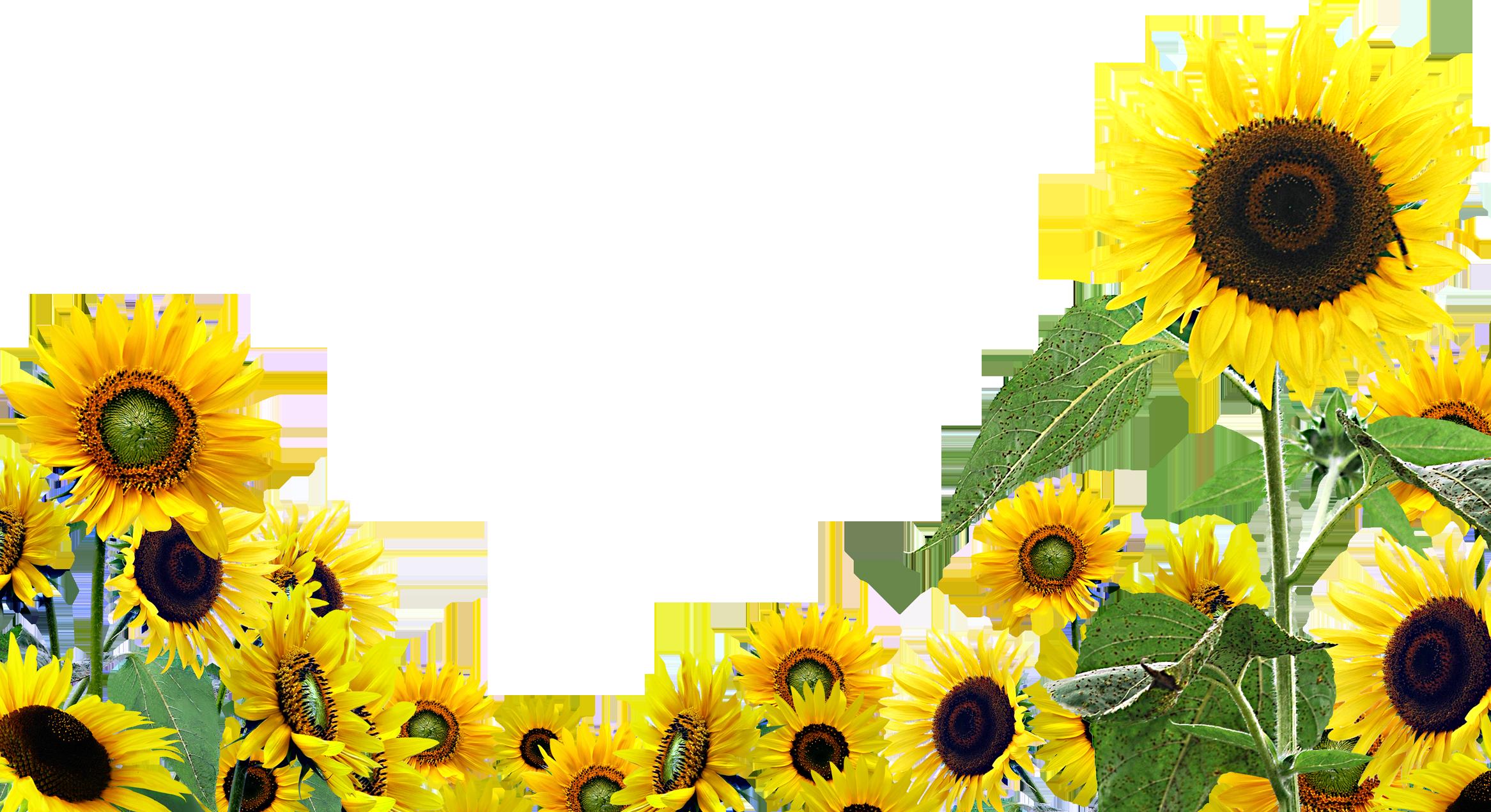 Desktop wallpaper common sunflower. Field clipart sunflowers