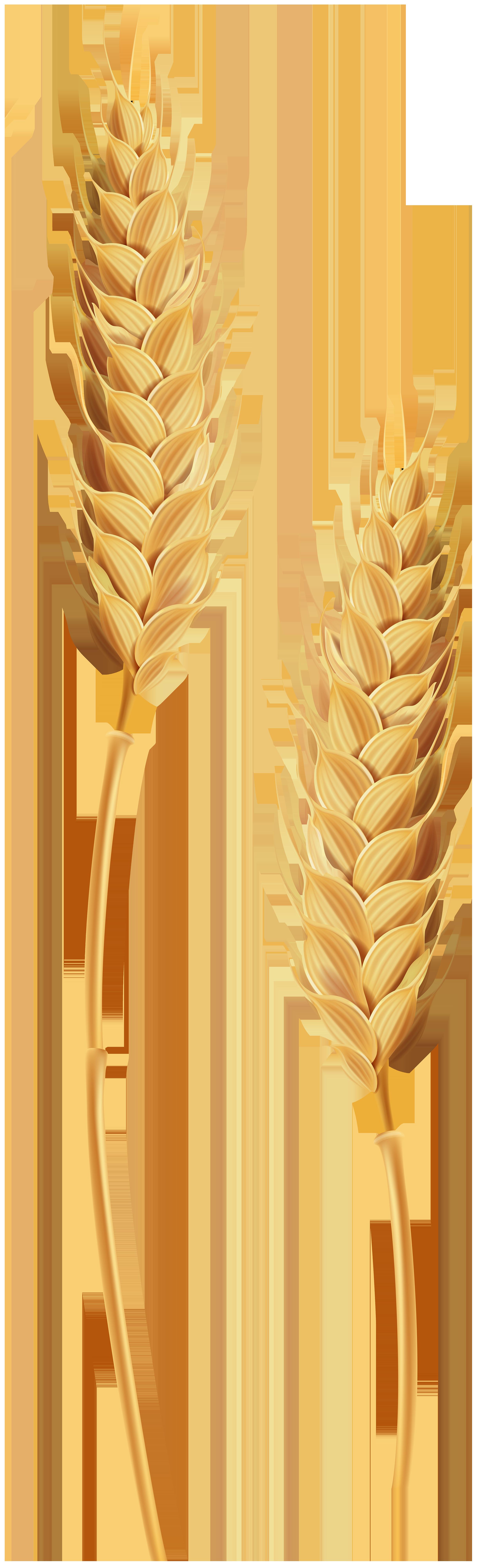 Wheat clipart transparent background. Stalks clip art image