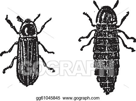 Vector illustration or lampyridae. Firefly clipart vintage