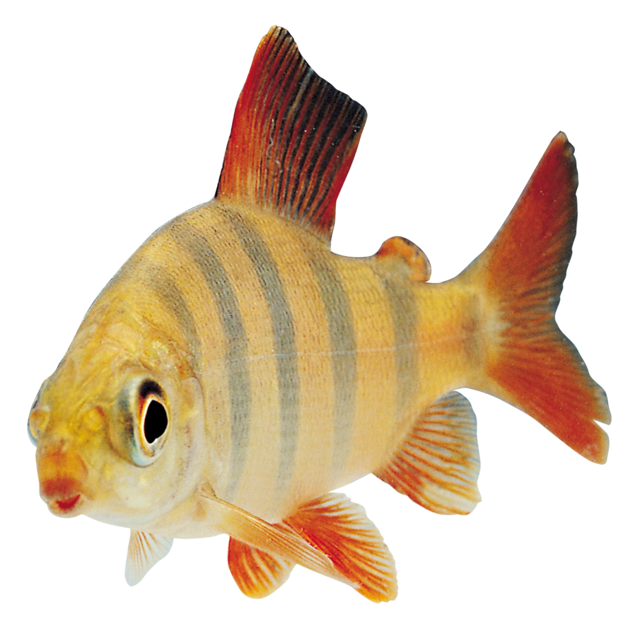Fish clipart animation. Pure css transparent rendering