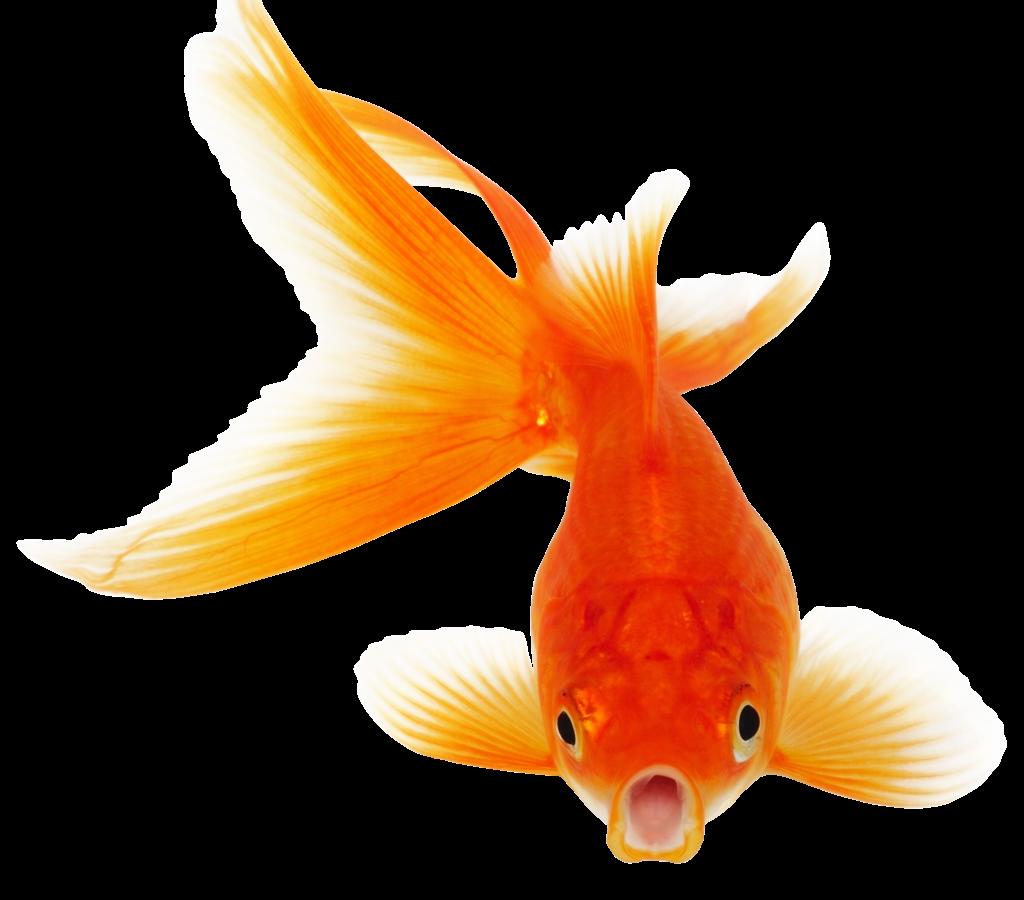 Goldfish clipart golden fish. Download hd wallpaper for