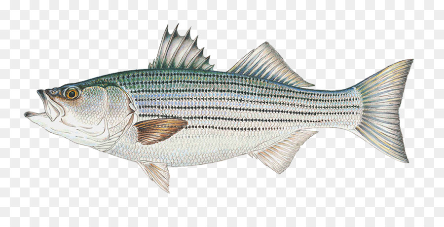 Fishing clipart striped bass. Cartoon fish transparent clip