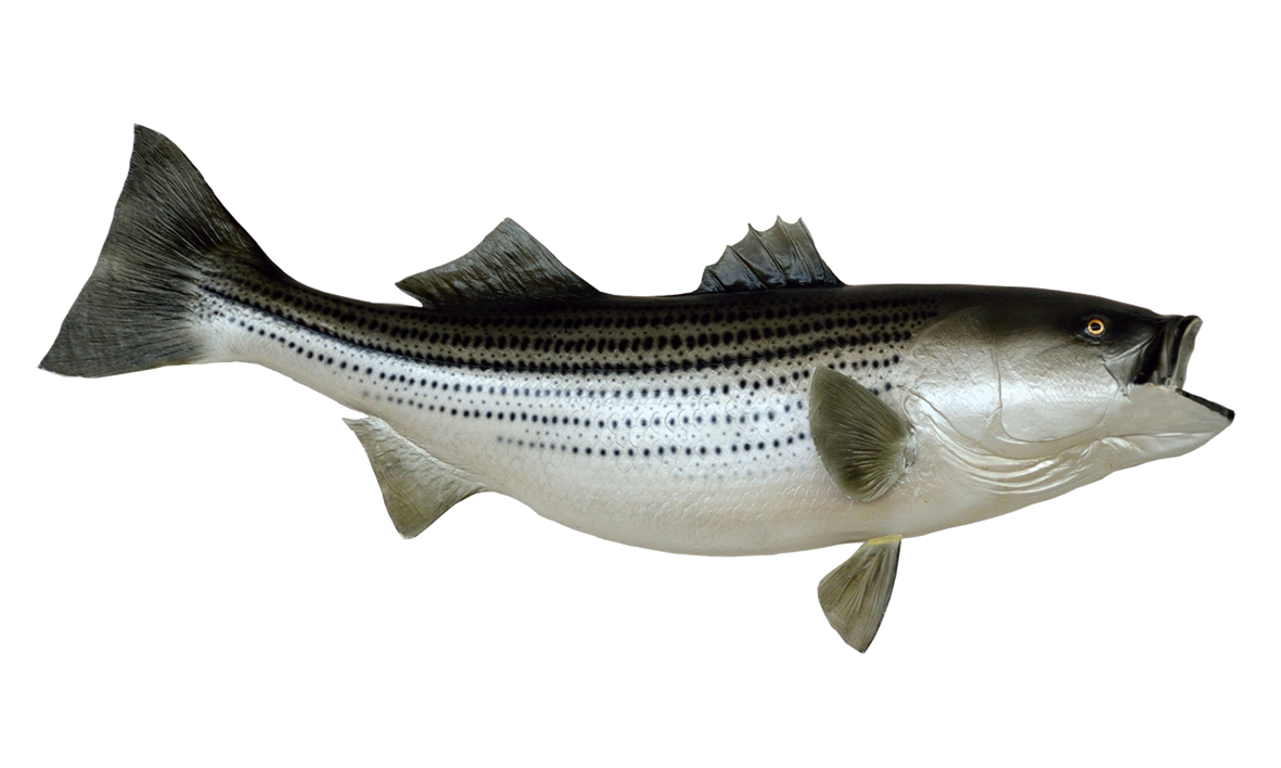 Fishing clipart striped bass. Fish clip art mounted