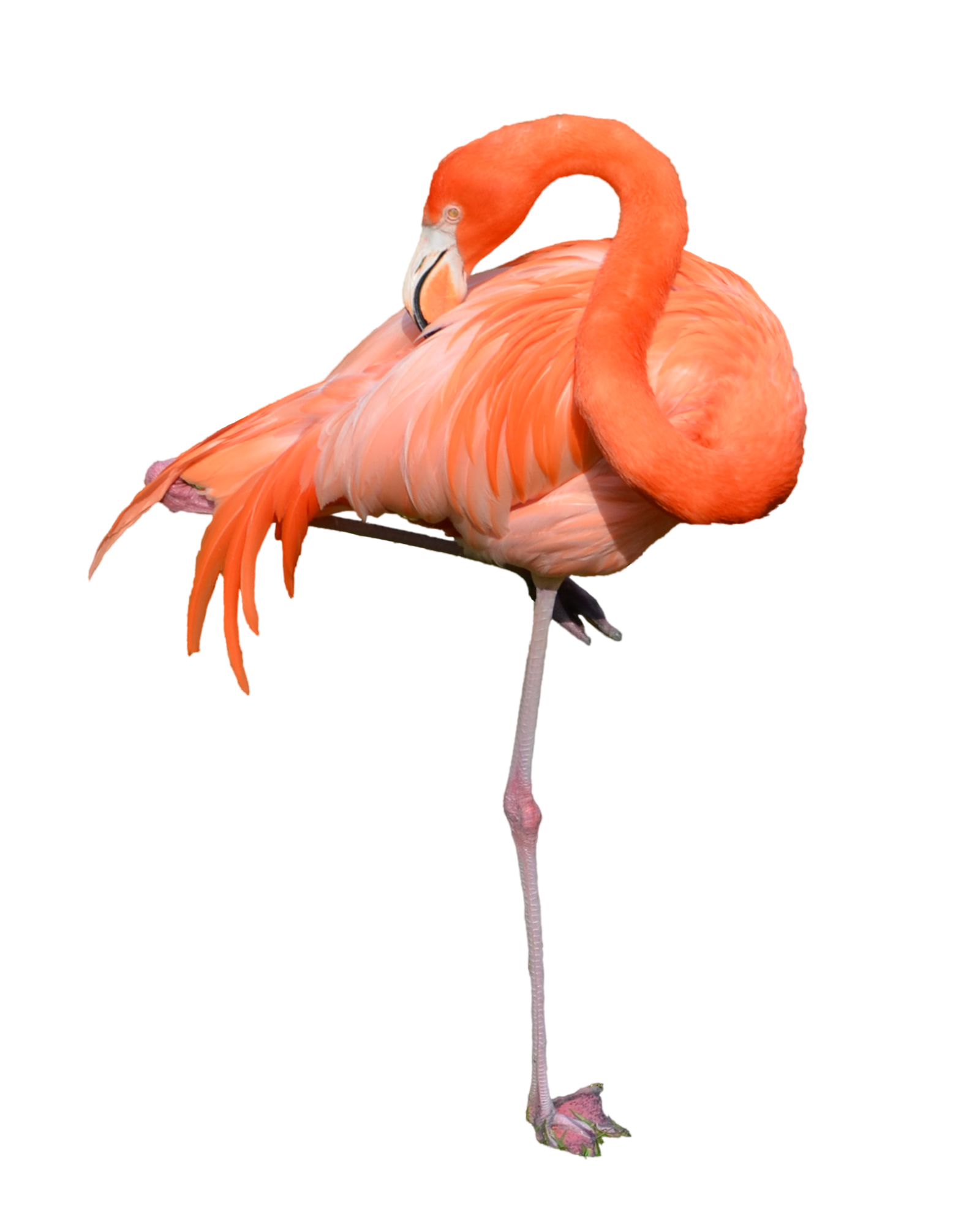 Png images free download. Foot clipart flamingo