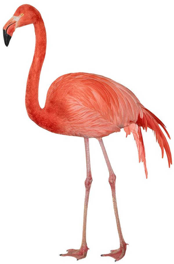 Flamingo clipart pdf. Index of images