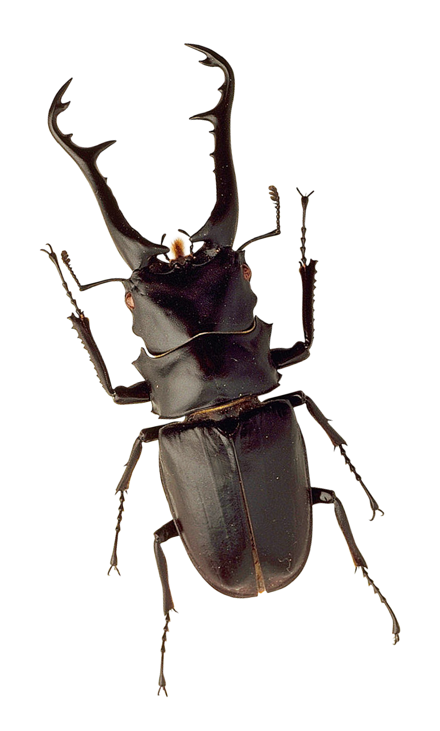 Insect png image purepng. Fly clipart beetle