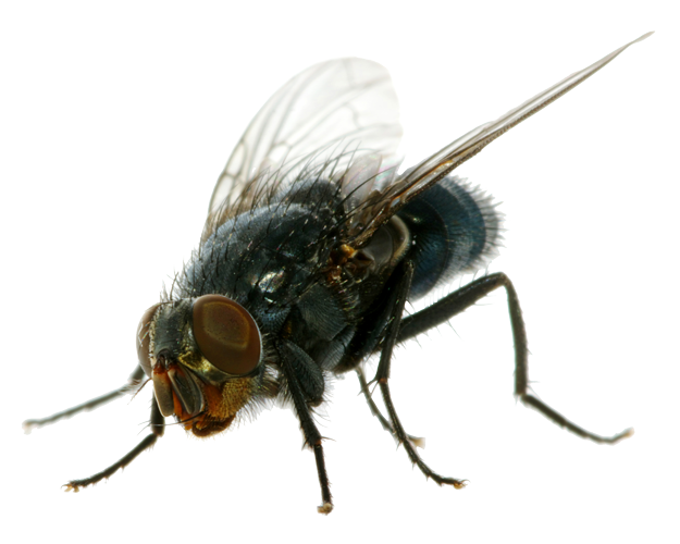 Flies images transparent free. House fly png