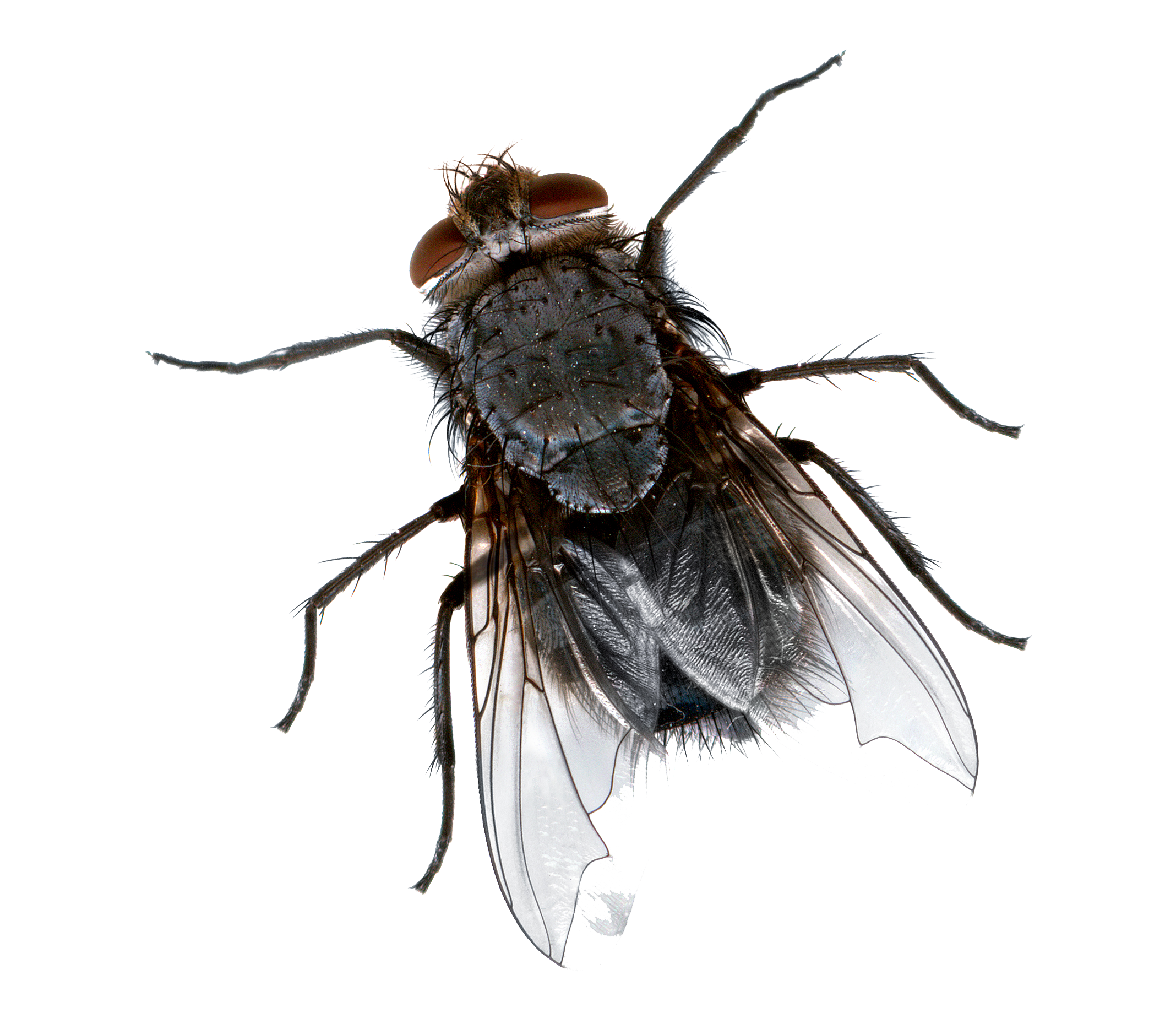 Png images transparent free. Flies clipart dead fly
