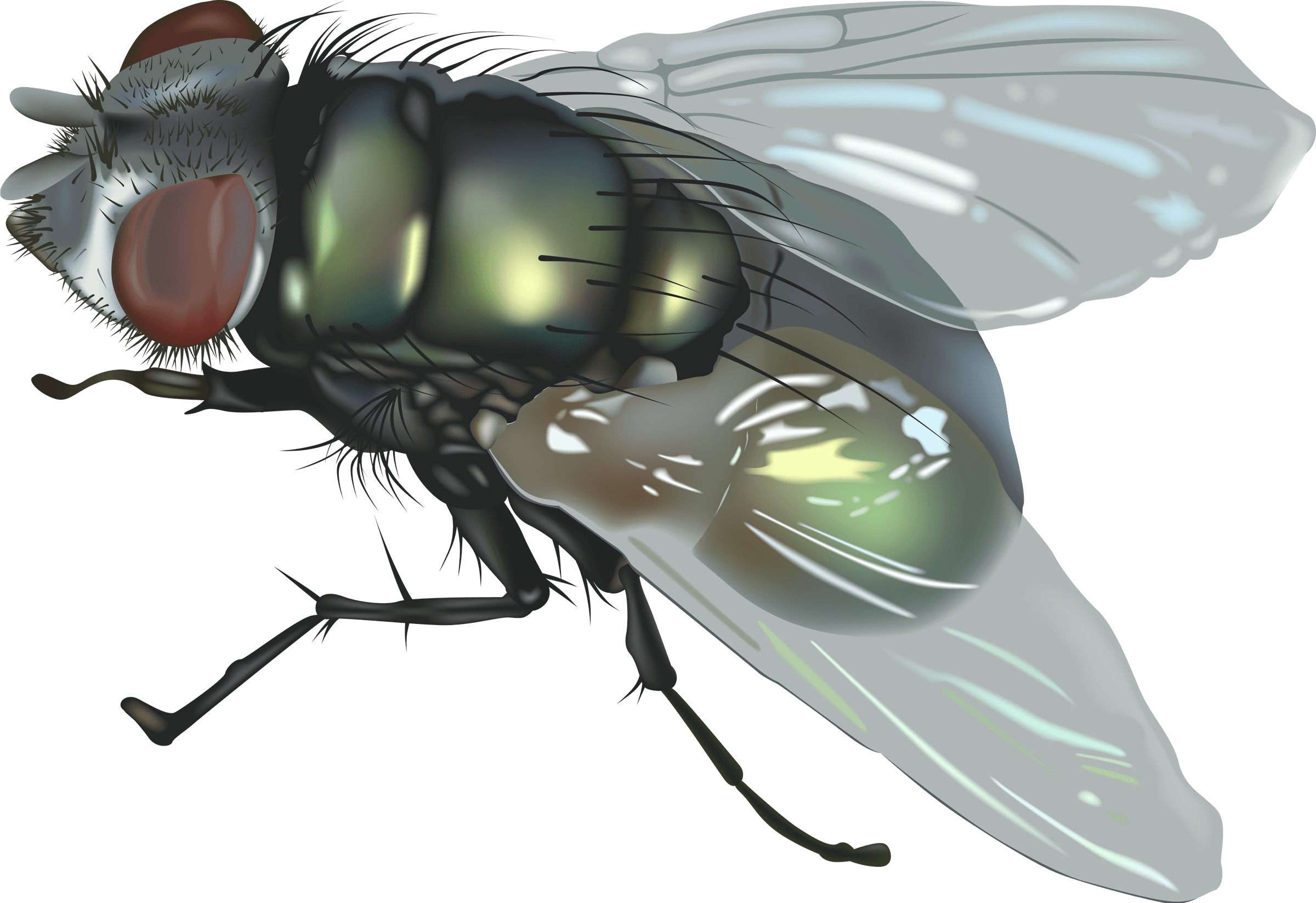 Flies clipart filthy. Fly female dark giant