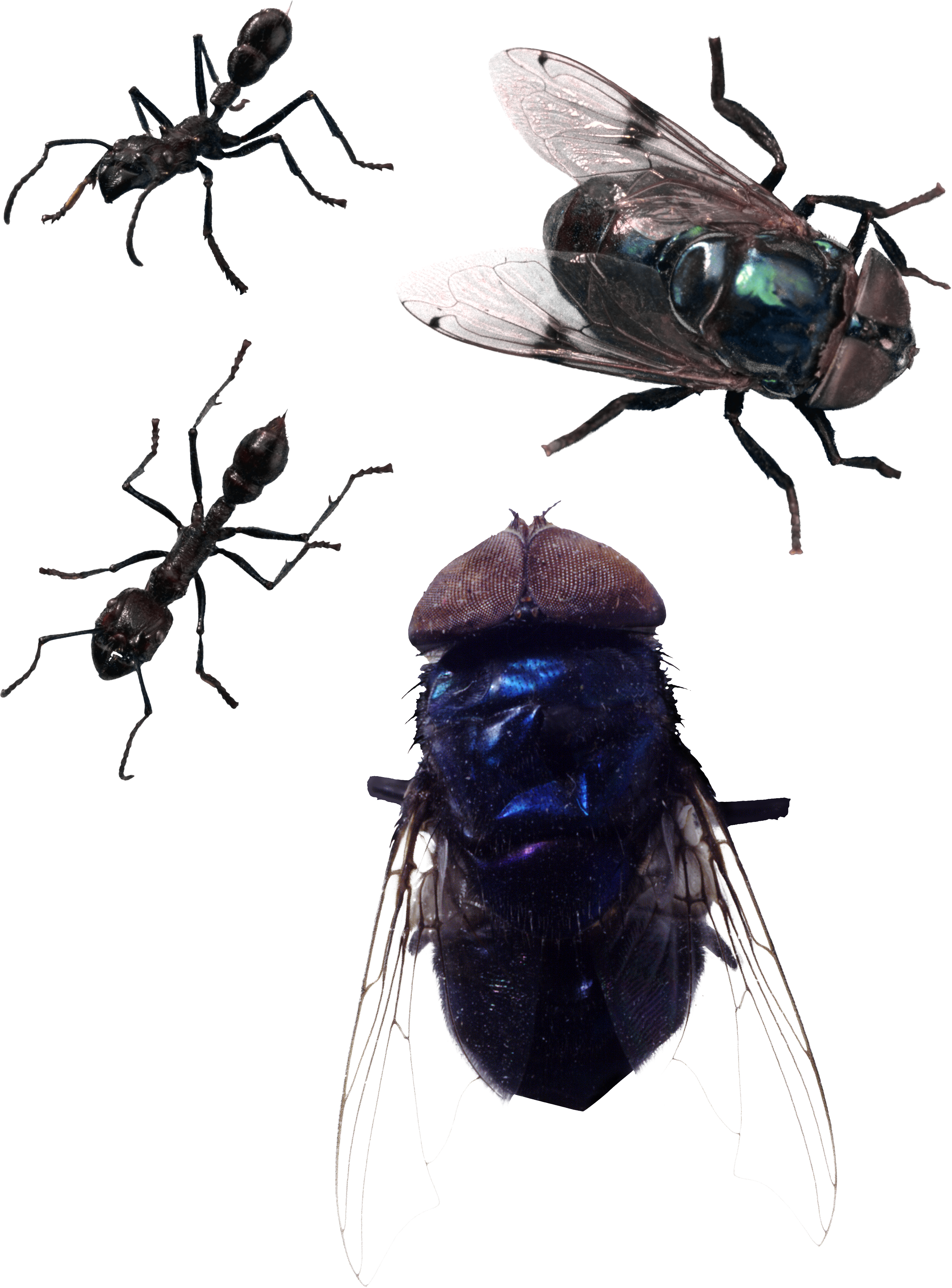 Png image free download. Fly clipart fruit fly