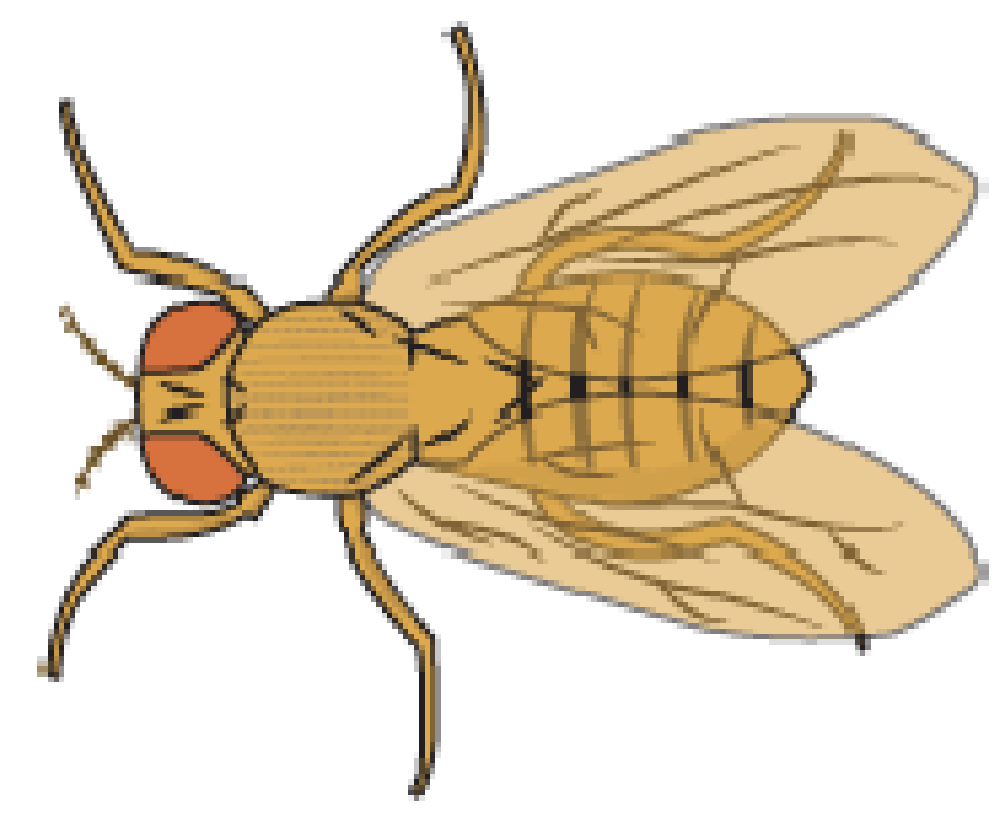 Fly clipart insect wing. Flies fruit free on