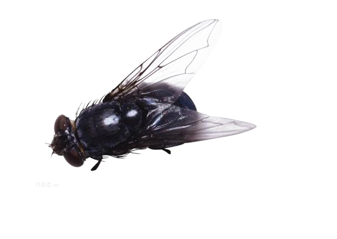 Flies clipart house fly. Insect clip art free