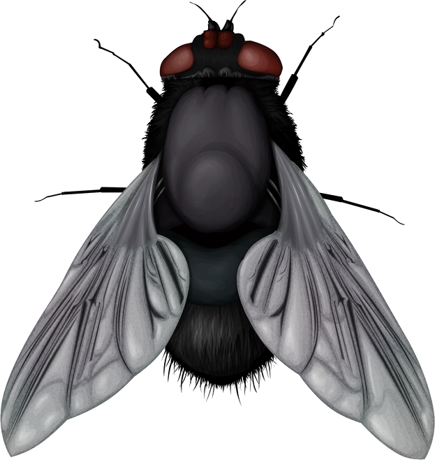 Fly clipart fruit fly. Png image free download