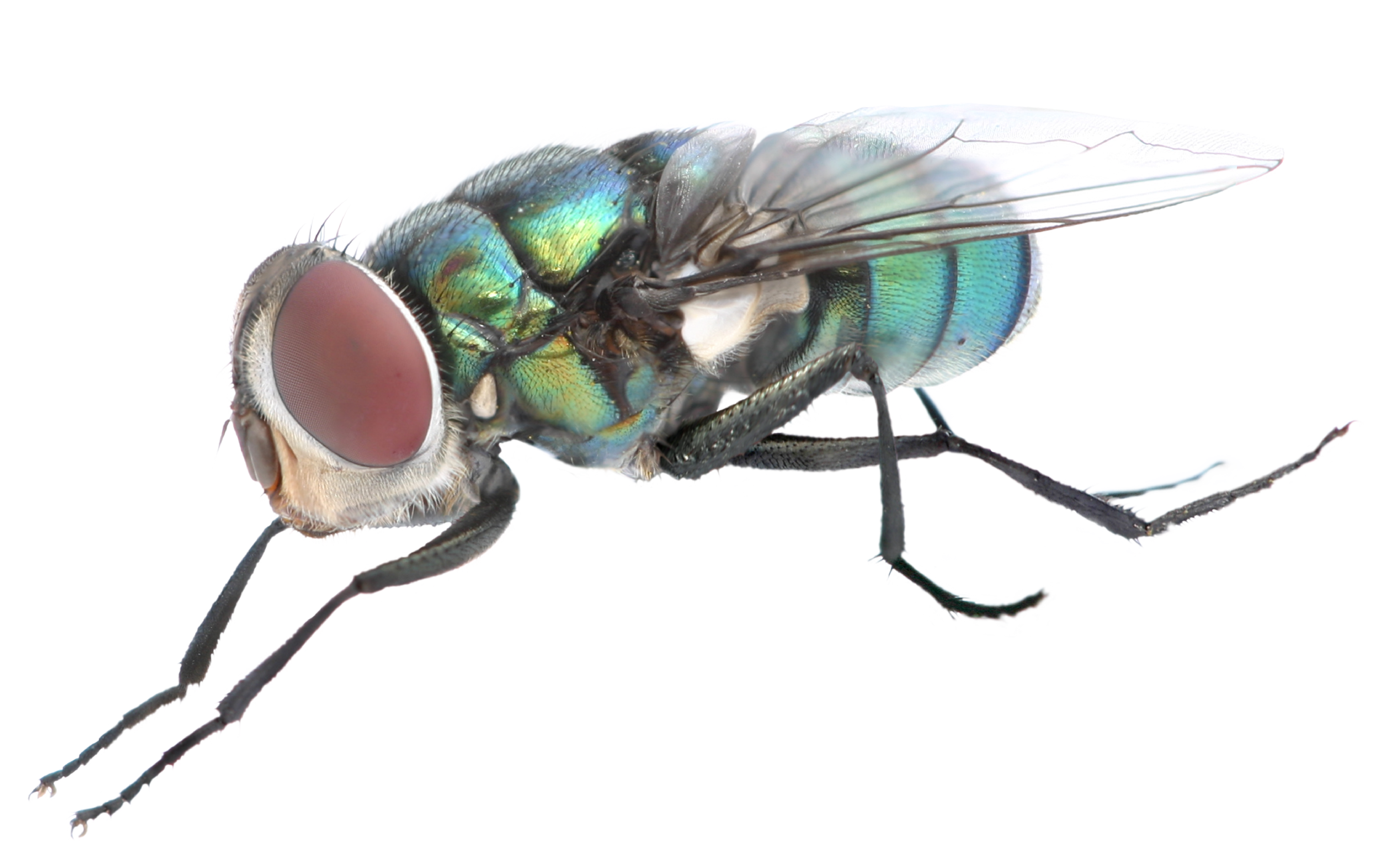 Fly clipart mosca. Png background image mart